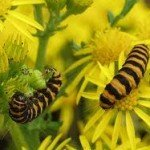 picture of a cinnibar caterpillar on a ragwort plant