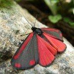 The dangerous Cinnibar moth