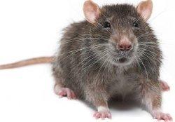 a wild rat